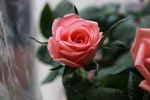 Rosen und Lieben